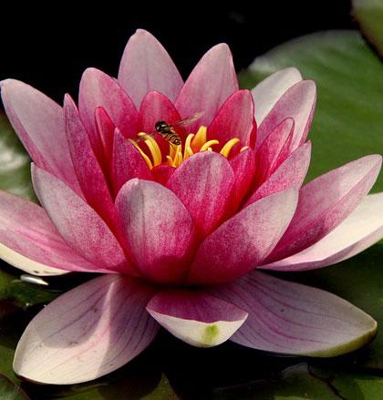 Fragrance Fleur de lotus