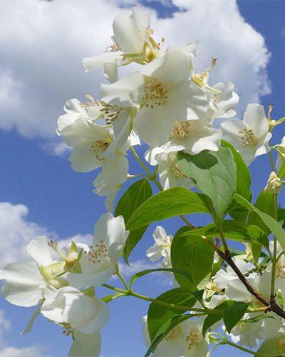 Jasmin - Fragrance cosmétique et parfum bougie