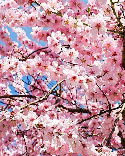 Fleurs de cerisier japonais - Parfum bougie et fragrance cosmétique