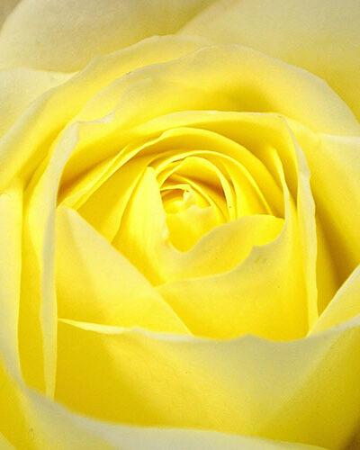 Rose jaune - Parfum bougie et fragrance cosmétique